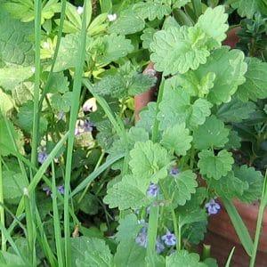 Gundermann lila