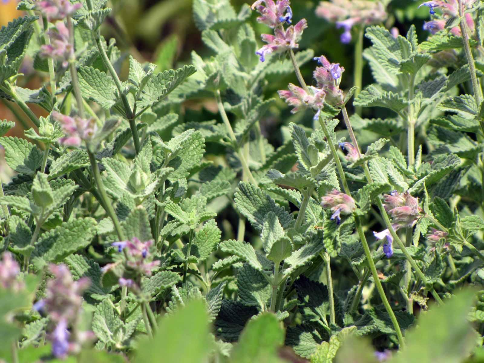 Bio Persische Katzenminze Nepeta Faassenii Lamiaceae