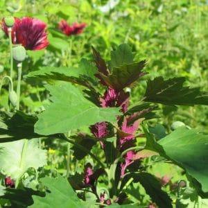 Chenopodium giganteum