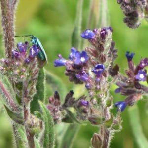 Ochsenzunge Bluete