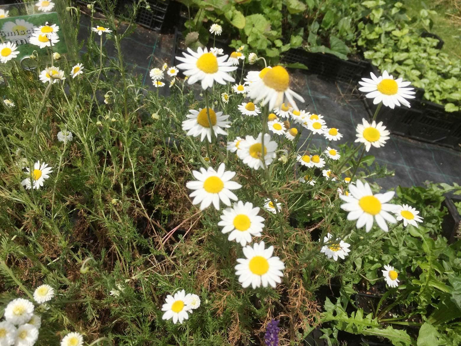 Fabelhaft Römische Kamille - Chamaemelum nobile / Asteraceae &WO_36