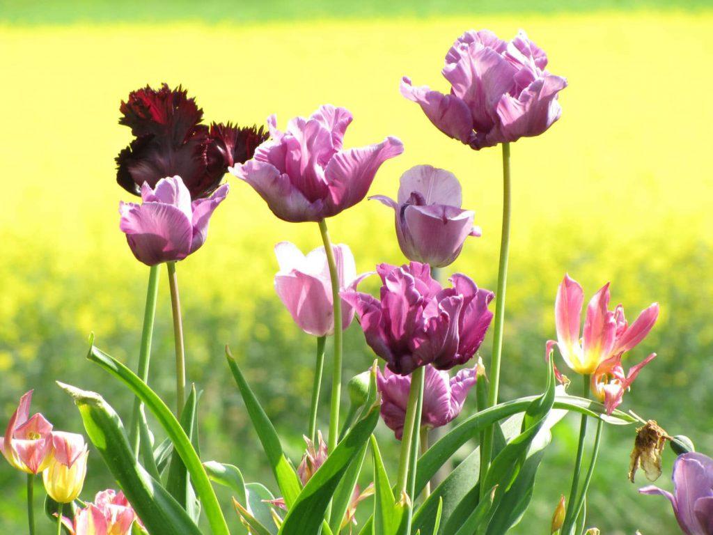 tulpen01